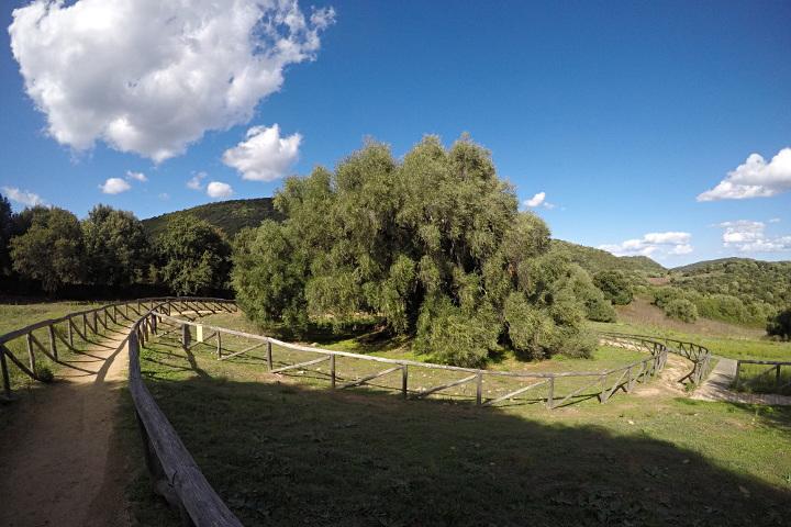 Les oliviers sauvages millénaires