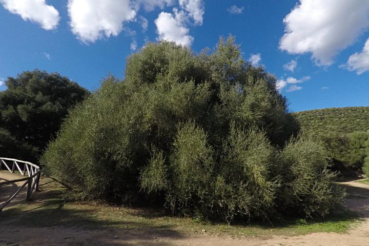 Deuxiem olivier sauvage